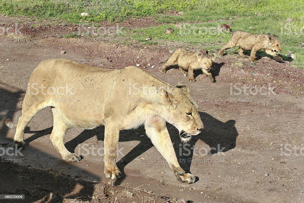 Wild African lioness with cubs coming along the road. stock photo