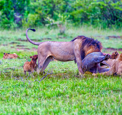 Wild African Lions eating a freshly killed Buffalo very early in the morning, before sunrise.