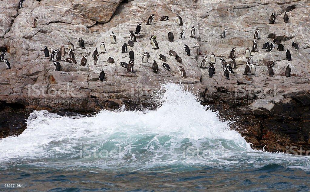 Wild African Penguins in Rough Seas stock photo