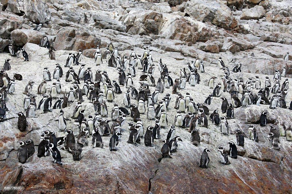 Wild African Penguins stock photo