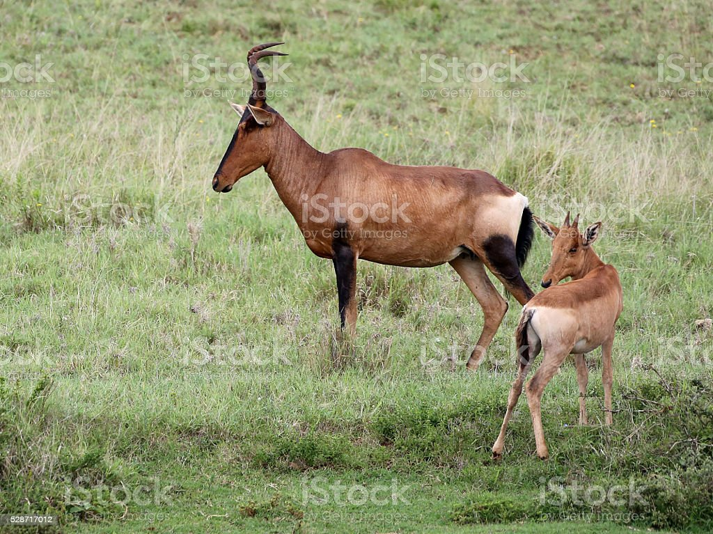 Wild African Red Hartebeest Mom and Baby stock photo