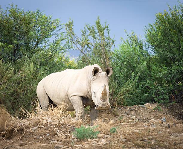Wild African White Rhino, South Africa. stock photo
