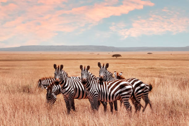 wild african zebras in the serengeti national park. wild life of africa. - zebra stock photos and pictures