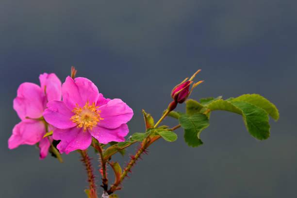Wild Alaska rose in bloom stock photo