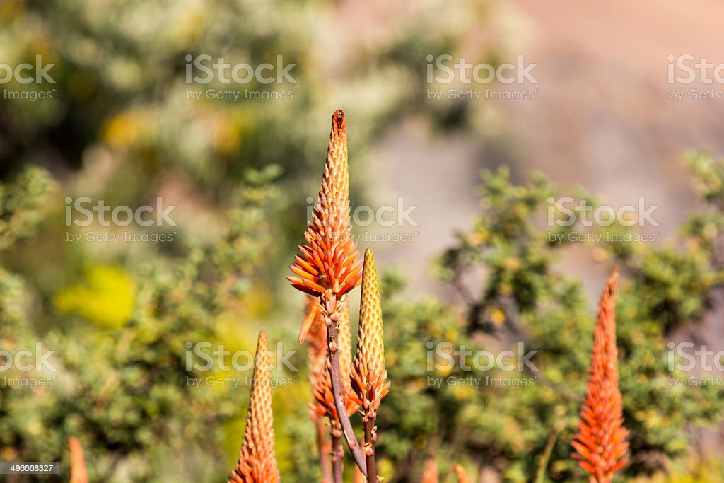Wild Aloe in KwaZulu-Natal, South Africa stock photo