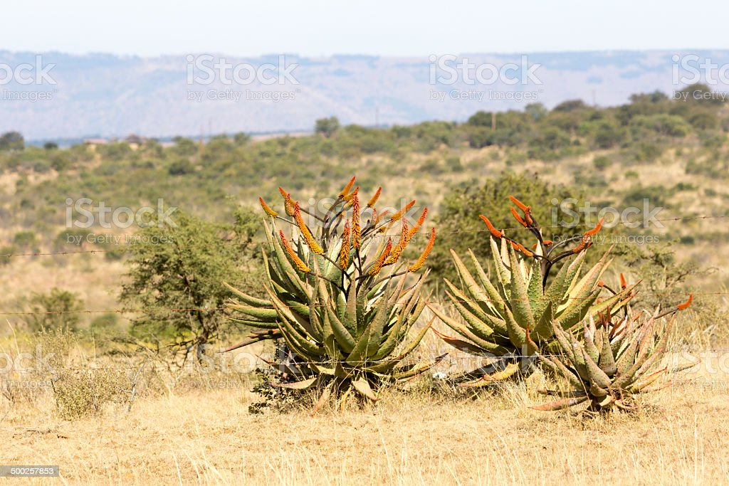 Wild Aloes in KwaZulu-Natal, South Africa stock photo