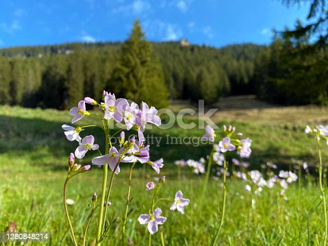 Wild alpine spring flowers on the slopes of the Pilatus mountain range and in the Emmental Alps, Alpnach - Canton of Obwalden, Switzerland (Kanton Obwalden, Schweiz)