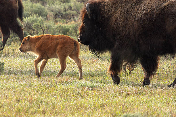 Wild America Bison Calf and Cow stock photo