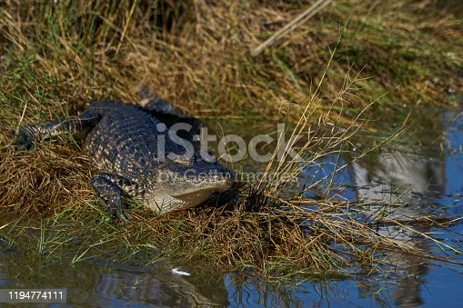 Wild American Alligator along the mangrove coast of the Atlantic Ocean at the Merritt Island National Wildlife Refuge on the Space Coast of Florida.