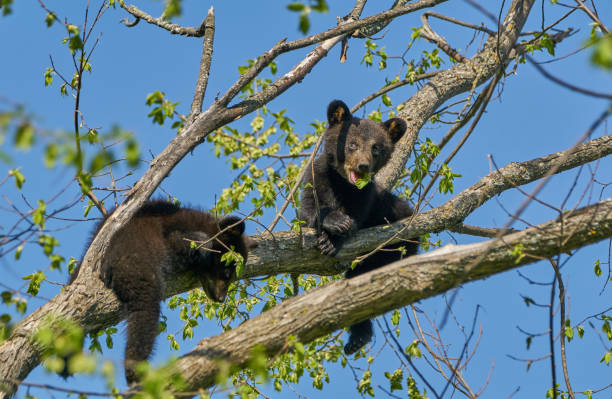Wild American Black Bear Cub in the Dense Forest of Northern Minnesota USA stock photo