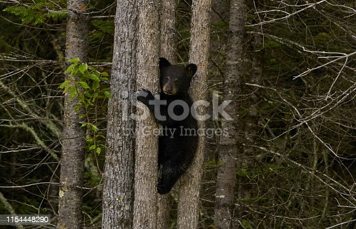 Wild American Black Bear baby cubs in the dense forests of Northern Minnesota, USA.