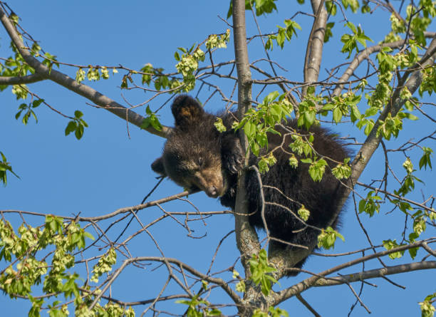 Wild American Black Bear Cubs im Dense Forest of Northern Minnesota USA – Foto