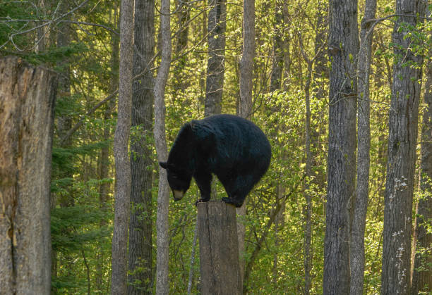 Wild American Black Bear in the Dense Forest of Northern Minnesota USA stock photo
