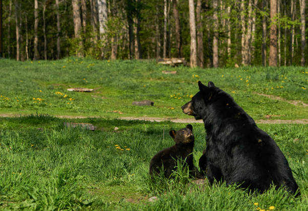 Wild American Black Bear Mother and Cubs in the Dense Forest of Northern Minnesota USA stock photo