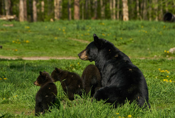 Wild American Black Bear Mother and Cubs in the Dense Forest of Northern Minnesota USA – Foto
