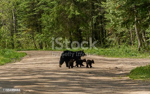 Wild American Black Bear mother and cubs in the dense forests of Northern Minnesota, USA.