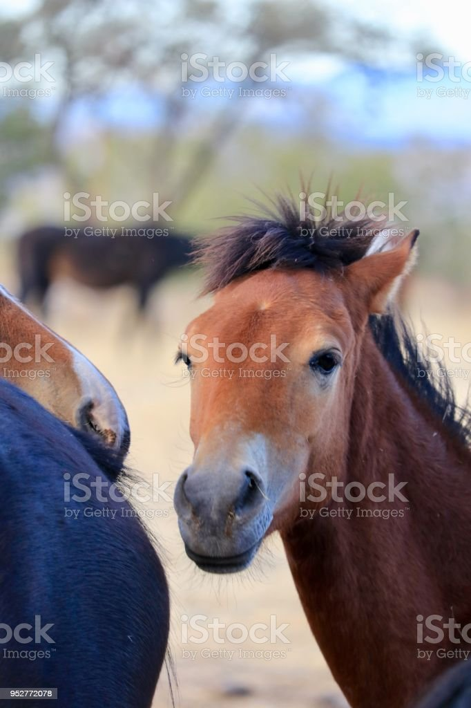 Wild American mustang yearling colt stock photo
