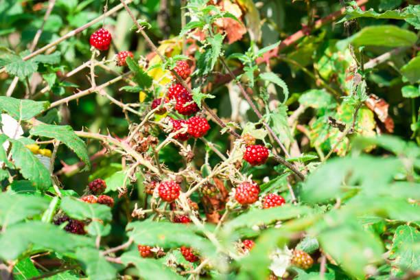 Wild and sweet raspberries background. Selective focus. stock photo