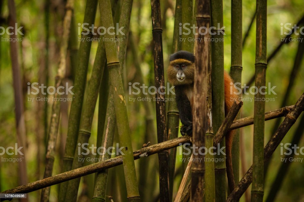 Wild and very rare golden monkey in the bamboo forest. stock photo