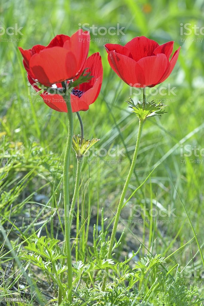 Wild Anemone flowers royalty-free stock photo