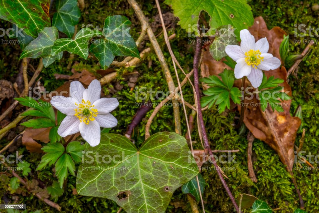wild anenome growing in hedge in english lake district stock photo