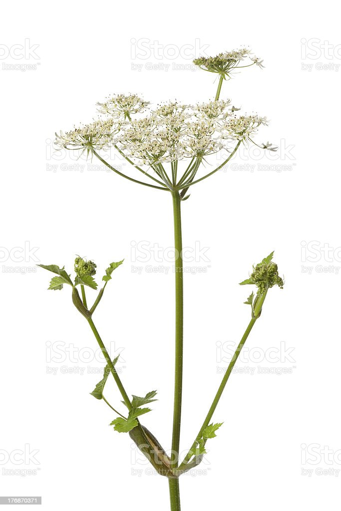 Wild Angelica flower stock photo