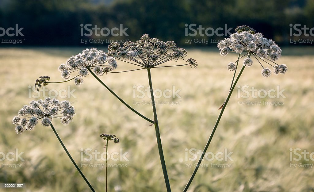 Wild angelica growing at the side of a crop field stock photo