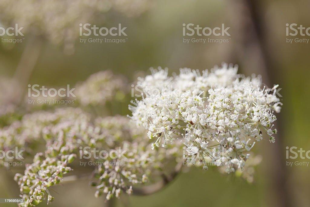 Wild Angelica (A. sylvestris) royalty-free stock photo