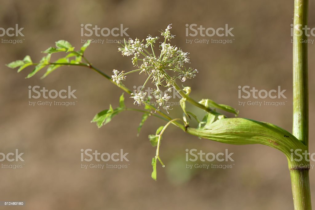 Wild angelica (Angelica sylvestris) stock photo