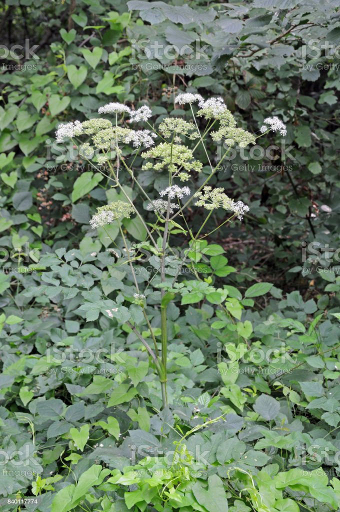 wild angelica stock photo