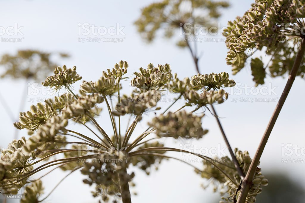 Wild Angelica (A. sylvestris) Seed Heads against Blue Sky royalty-free stock photo