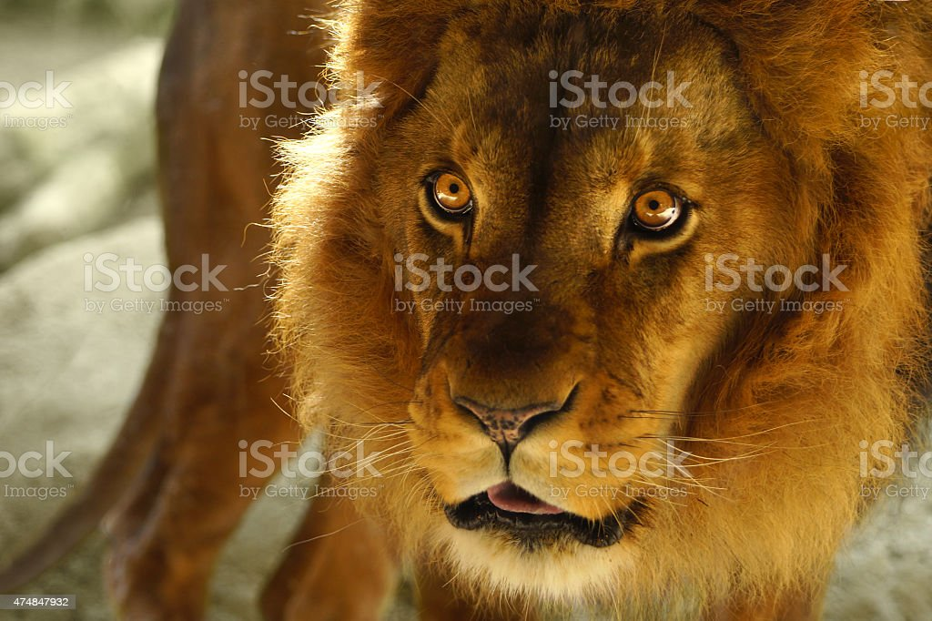 Wild angry Lion male with wonderful yellow eyes stock photo