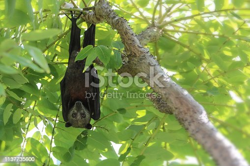 Wild animal Large flying fox or Malaysian flying fox ,A Big bat under bushes during the day.