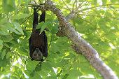 istock Wild animal Large flying fox or Malaysian flying fox ,A Big bat under bushes 1137735600