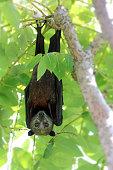 istock Wild animal Large flying fox or Malaysian flying fox ,A Big bat under bushes 1137735666