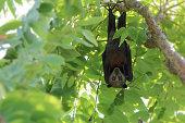 istock Wild animal Large flying fox or Malaysian flying fox ,A Big bat under bushes 1137735673