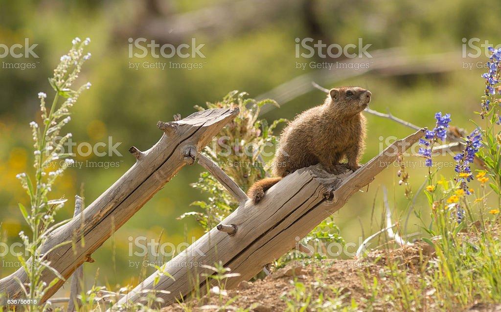 Wild Animal Marmot Marmota Yellowstone National Park stock photo