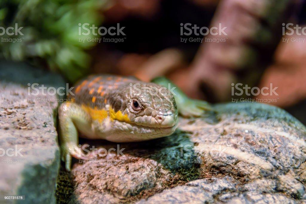 Wild animal, reptile, gray green iguana crawling through a tree in...