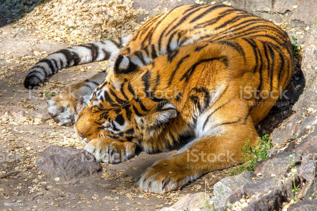 wild animal striped predator amur tiger asleep royalty-free stock photo