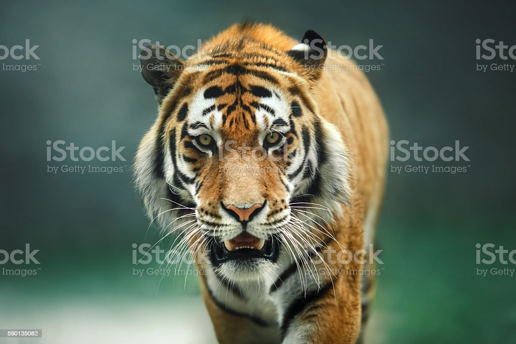 Wild animal Tiger portrait stock photo