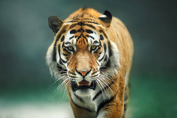 wild animal tiger portrait - tiger stock photos and pictures