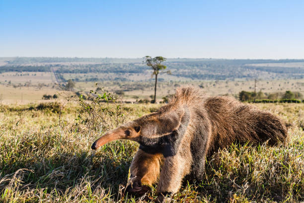 A wild anteater at the pasture A wild anteater at the pasture Giant Anteater stock pictures, royalty-free photos & images