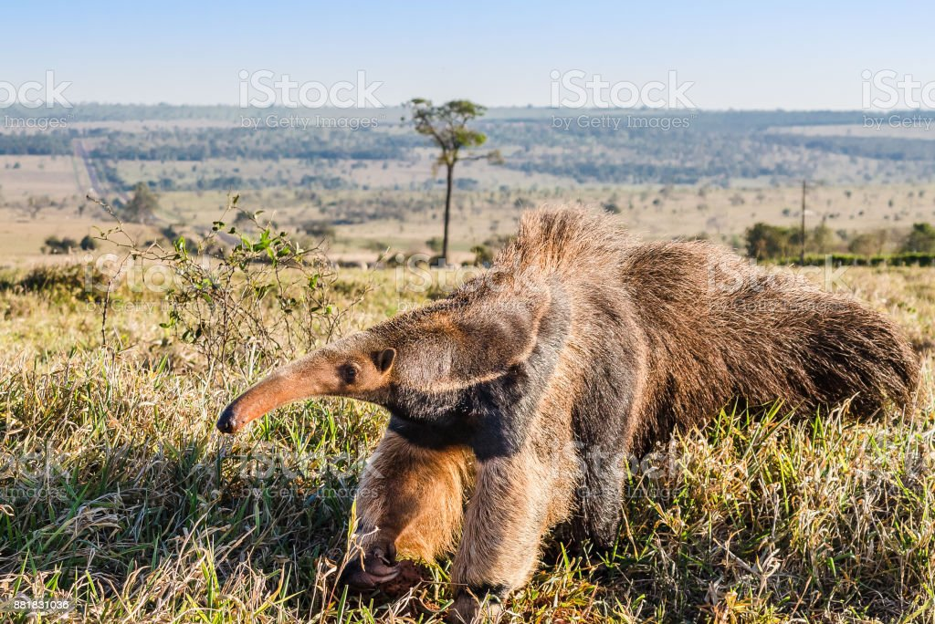 A wild anteater at the pasture stock photo