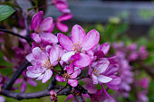 istock Wild Apple blossom in our garden close-up. 1227578807