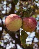 Two wine apples growing on the wild tree.