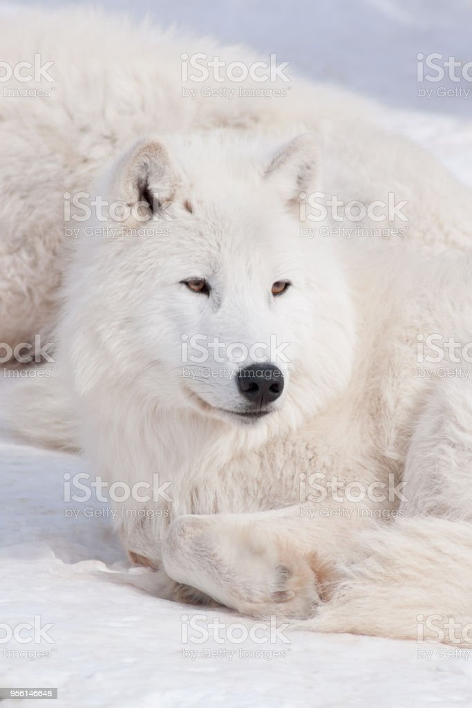 Wild arctic wolf is lying on white snow. Canis lupus arctos. stock photo