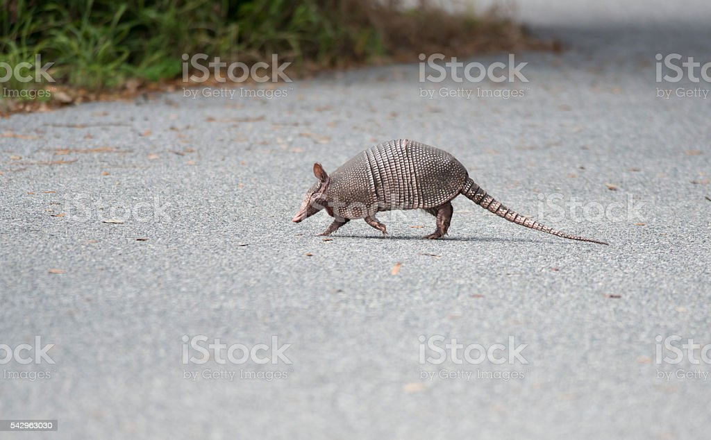 wild armadillo crossing a road stock photo