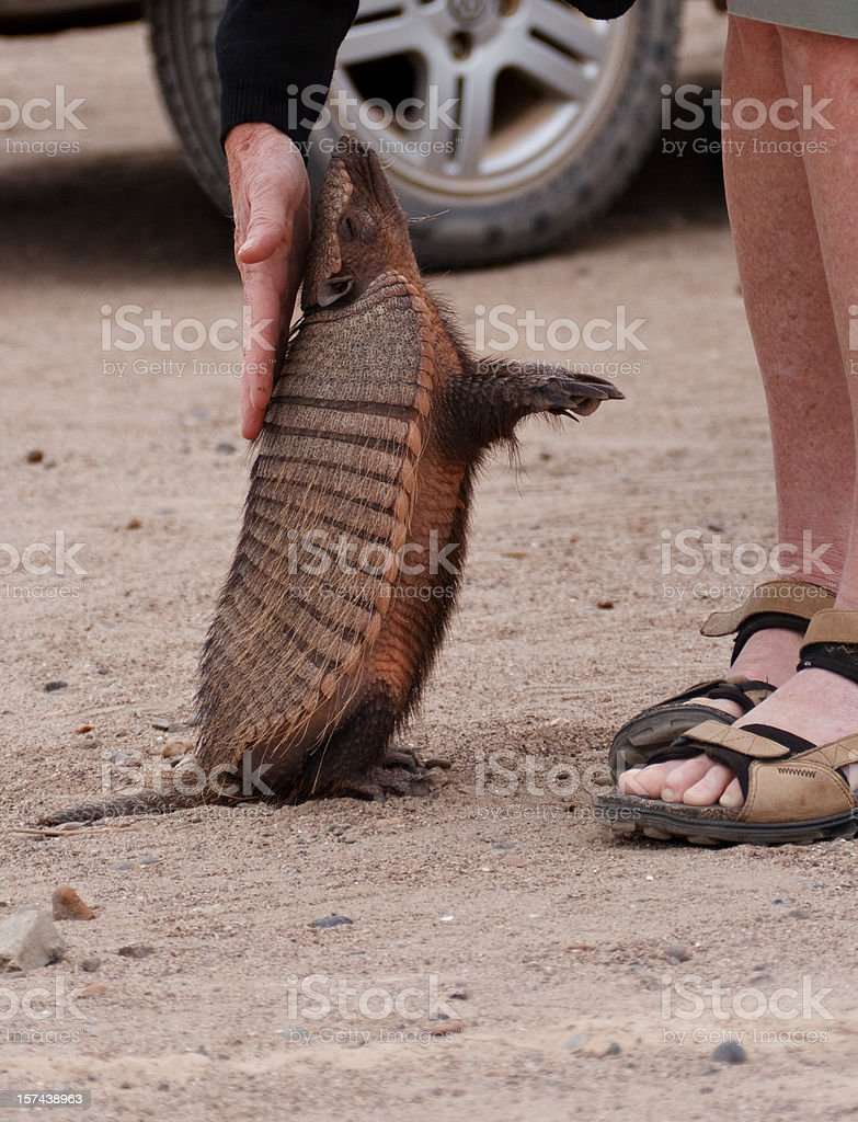 Wild Armadillo mascotas - foto de stock