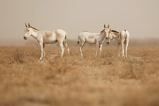 Wild Asses In The Desert Little Rann Of Kutch Stock Photo - Download Image Now