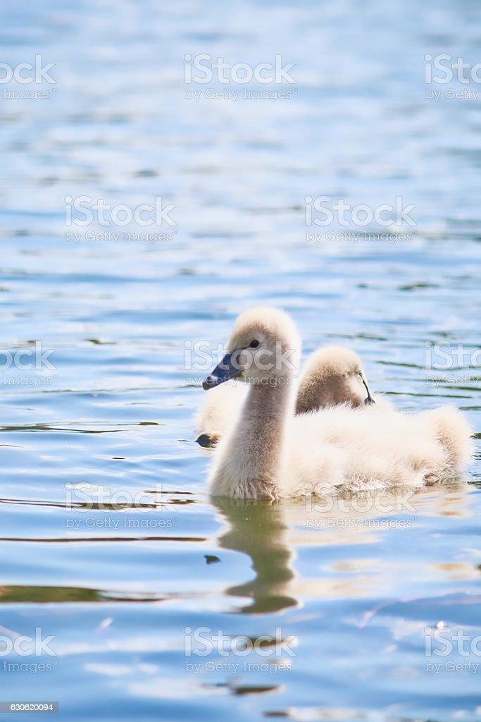 Wild Baby Black Swan stock photo